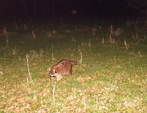 This raccoon is not out for a casual stroll...it's on a mission to find food.