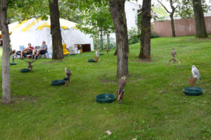 Game Fair's new Birds of Prey display allows attendees an up close look at these marvelous birds.